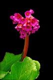 Stella di colore rosso di Bergenia. Fotografie Stock