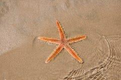 Stella di Live Sea nella sabbia Immagine Stock Libera da Diritti