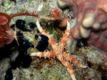 Stella di mare e pesci coperti di spine della stella Immagini Stock