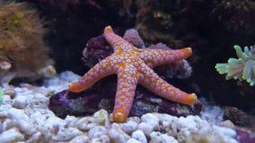 Stella di mare indiana - Fromia indica fotografie stock