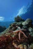 Stella di mare o pesci della stella (laevigata di linckia) Immagini Stock Libere da Diritti