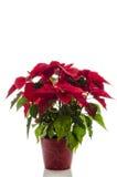 Stella di Natale del fiore di Natale Fotografia Stock Libera da Diritti