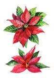 Stella di Natale di Natale isolata su fondo bianco, fiore dell'acquerello Immagine Stock