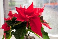 Stella di Natale, euforbia, la stella di Betlemme fotografie stock