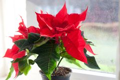Stella di Natale, euforbia, la stella di Betlemme fotografia stock libera da diritti