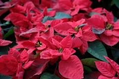 Stella di Natale (fiori di Natale) Immagini Stock Libere da Diritti