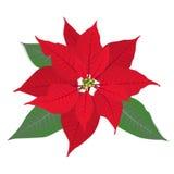 Stella di Natale rossa del fiore su bianco Fotografia Stock Libera da Diritti