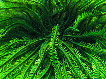 Stella di piuma verde Fotografie Stock