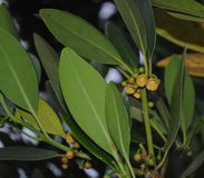 Stella giapponese Anise Yellow Flower fotografia stock libera da diritti