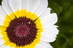 Stella orientale del crisantemo Fotografia Stock Libera da Diritti