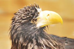 Stella Sea Eagle Royalty Free Stock Image