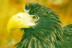 Stella Sea Eagle Stock Photo