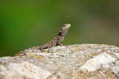 Stellagama stellio, Agama jaszczurka Zdjęcia Stock
