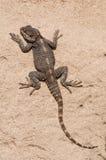 Stellagama stellio,  Agama lizard. Basking on rock Royalty Free Stock Image