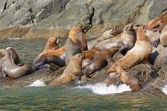 Stellaire Zeeleeuwen die op een Rots overbevolken Royalty-vrije Stock Fotografie