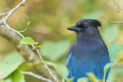 Stellar Blue Jay 1 Royalty Free Stock Photos