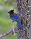 Stellar blue jay on tree branch Alaska. The Stellar blue Jay perched on a small tree branch in the mountain forests of Skagway, Alaska Royalty Free Stock Images