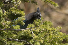 Stellar jay in fir tree Stock Photos