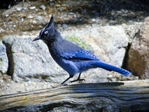 Stellar Jay Stock Photography