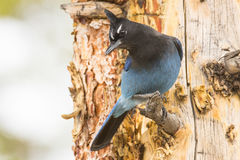 Stellar jay looking down Royalty Free Stock Images