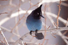 Stellar jay looking to his side Stock Images