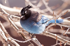Stellar jay. Sitting in birch tree Stock Photography