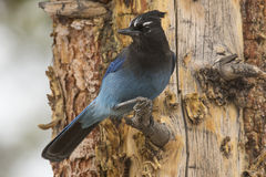 Stellar jay on twig in pine tree Royalty Free Stock Photo