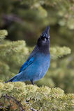 Stellar's Jay Stock Photography