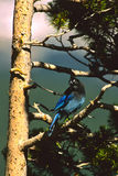 Stellar's Jay Royalty Free Stock Images