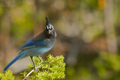Stellar's Jay Royalty Free Stock Photography
