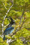 Stellar's Jay. A blue Steller's Jay in a pine tree Royalty Free Stock Image