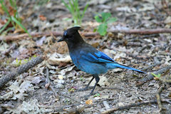 Stellar's jay Stock Images