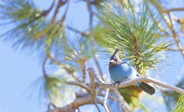 Stellar's Jay Stock Photo