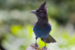 Stellar's Jay Royalty Free Stock Photo