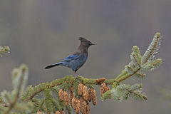 Stellar's Jay in a Coastal Forest. In Chilkoot State Park in Alaska Royalty Free Stock Photography