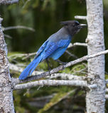 Stellar's Jay Mount Rainier Royalty Free Stock Images