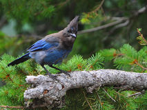 Stellar's Jay on a Mountaintop Stock Images