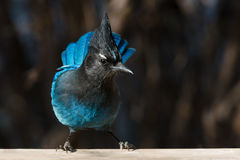 Stellar's Jay. Perched on a fence rail Royalty Free Stock Photography