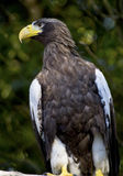 Stellar's Sea Eagle Haliaeetus Pelagicus Stock Photos