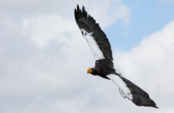 Stellar's sea eagle Royalty Free Stock Photography