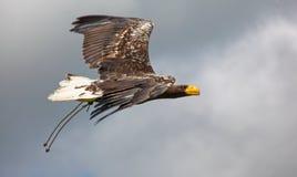 Stellar's sea eagle Stock Images