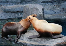 Stellar Sea Lion. S fighting on rock Royalty Free Stock Images