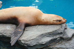 Stellar Sea Lion Stock Image