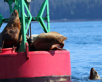 Stellar Sea Lion dominance display in Juneau, Alaska. Stellar Sea lion showing dominance in an aggressive manner to defend it& x27;s spot on a buoy in Juneau Stock Photo
