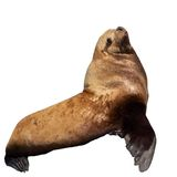 Stellar Sea Lion Isolated On White Background Royalty Free Stock Photography