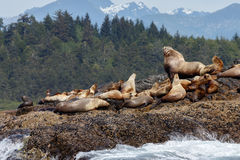 Stellar sea lion on rock. And in the background Vancouver island mountains Stock Image