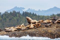 Stellar sea lion on rock Stock Photo
