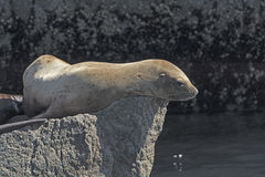 Stellar Sea Lion on a Rock Stock Image