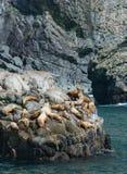 Stellar Sea Lion Rookery Stock Photo