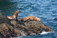 Stellar Sea Lions. A photo of several Stellar Sea Lions resting on the rocky shore of the Prince William Sound coastal area of Alaska Stock Photo